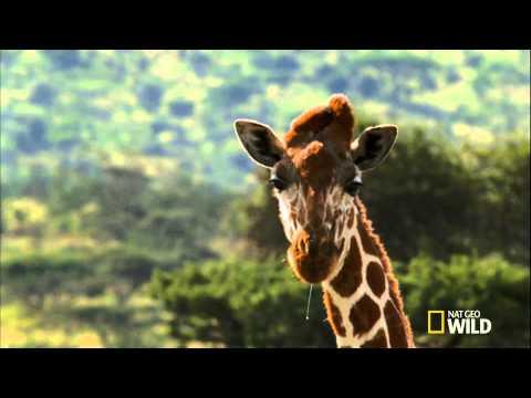 Жираф против Акации