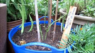 Please Visit The Rusted Garden Seed & Garden Shop:: https://www.therustedgarden.com/ Basic tips for successfully growing pole...