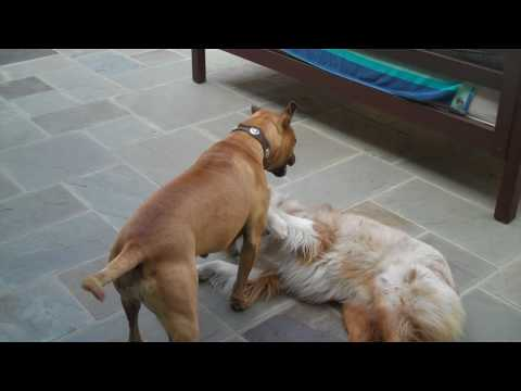 dogs Fight to the death! (pitbull vs australlian shepard)