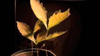 Time lapse stop motion bur oak tree growing by Arbor Aesthetics
