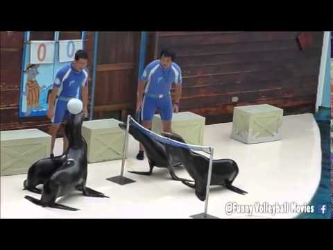 Sea Lions are insane at volleyball