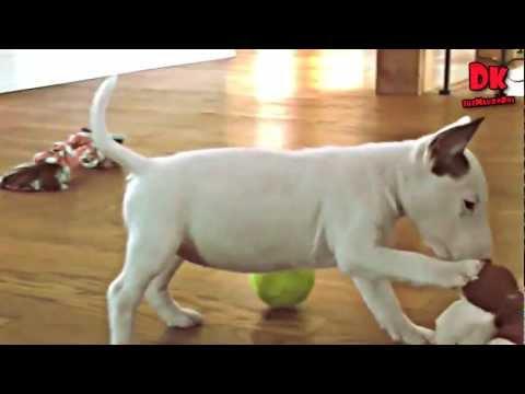 un tenero cagnolino di razza bull terrier gioca felice...