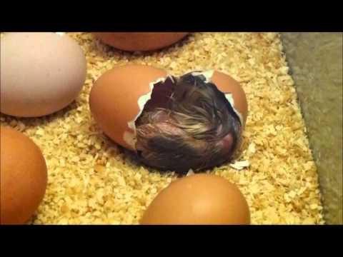 выпускаемое применением вылупление цыплят из инкубатора видео термобелье может