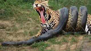 Video Anaconda Gigante VS Onça Pintada - Píton VS Leopardo - LUTA INCRÍVEL MP3, 3GP, MP4, WEBM, AVI, FLV Mei 2017