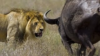 wildlife documentary lion vs buffalo real fight Discovery channel animals Animal planet