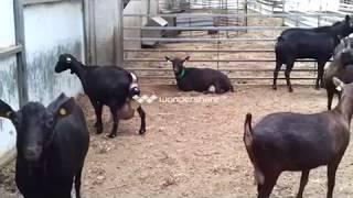 Video Parto de un cabra murciana MP3, 3GP, MP4, WEBM, AVI, FLV November 2017
