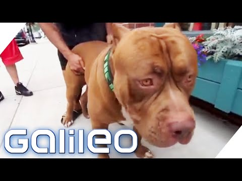 Hunde: Pitbull - Der größte Pitbull der Welt | Galile ...