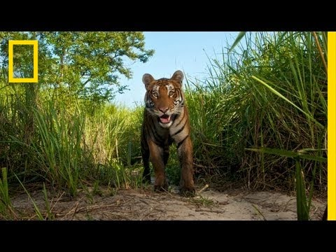 Steve Winter: On the Trail of the Tiger | Nat Geo Live