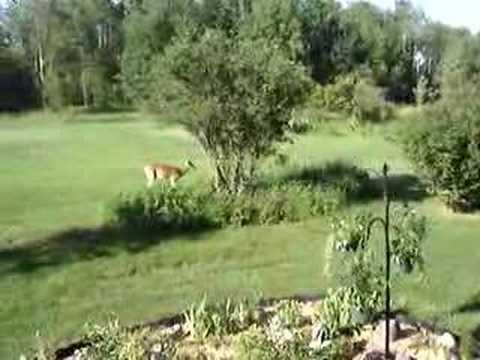 deer chasing dog