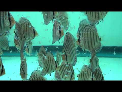 Discus Eating Adult Brine Shrimp  – Gwynnbrook Farm