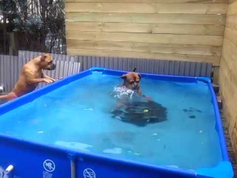 two very smart boxer