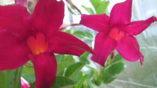 http://www.tytyga.com/category/Flowering+Mandevilla+Vines The Mandevilla vines flower in different many colors, and the most popular color is Red Mandevilla ...