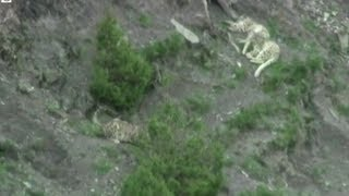 Three snow leopards have been spotted in the Yushu hills in central China.The animals are endangered, which makes seeing three of them in one place all the more surprising.Susana Mendonsa reports.source: BBC