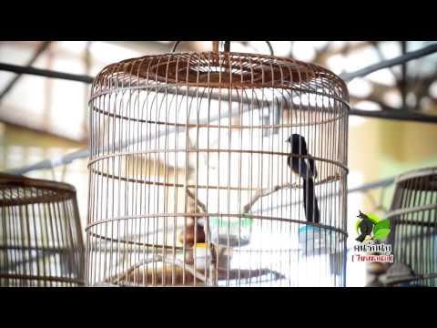 นกกางเขนดง - ติดตามรายการคนรักนก[ไทยแลนด์] ทาง CAT Channel ทุกวันอาทิตย์ 19.30-20.00น. ข้อมูลข่าวสาร...