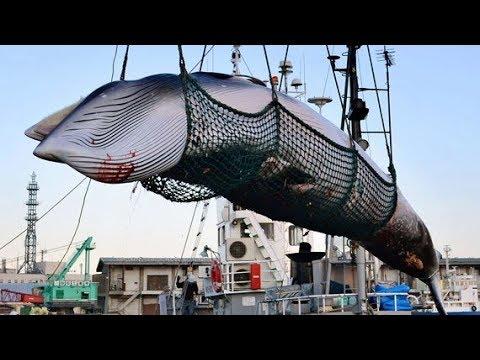 Nhật Bản rút khỏi IWC để tiếp tục đánh bắt cá voi  VTC14