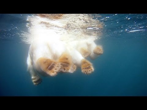 This Incredible Video Takes You Swimming With a Polar Bear