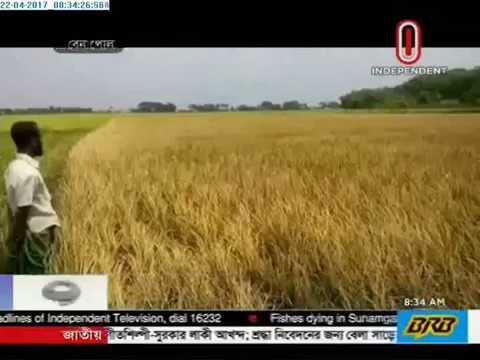 Paddy being damaged by fungus in Benapole, Kurigram (22-04-2017)
