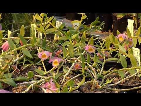 Orchideen Arten: Dendrobium loddigesii