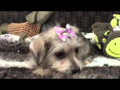 Adorable, wire-haired female Mauzer