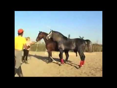 Video Horses Mating Up Close And Hard & Funny Animals Compilation 2015 HD Part 8 download in MP3, 3GP, MP4, WEBM, AVI, FLV January 2017