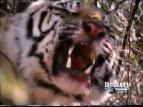 tigre vs leon batalla - ESPECIAL DUELO ANIMAL UN DUELO DE FELINOS.