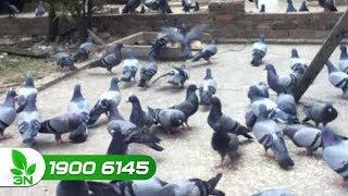 Chăn nuôi | Mầm mống gây nên bệnh Newcastle ghép giun thực quản ở chim bồ câu