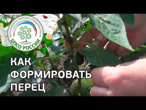 Выращиваем перец в теплице. Как формировать перец в период созревания и плодообразования