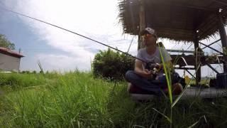 Barramundi Fishing Thailand @ Pilot111 fishing pool