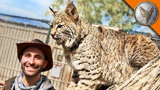 Bobcat needs a new home! by Brave Wilderness