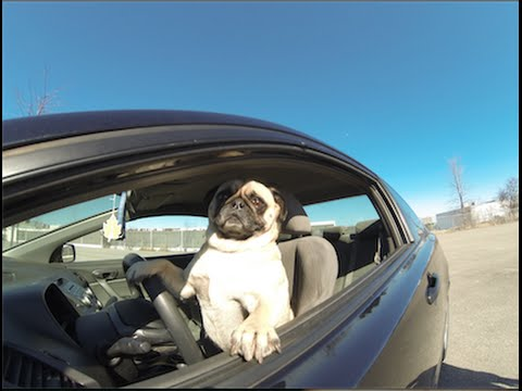 Atom The Pug Races a Honda Civic