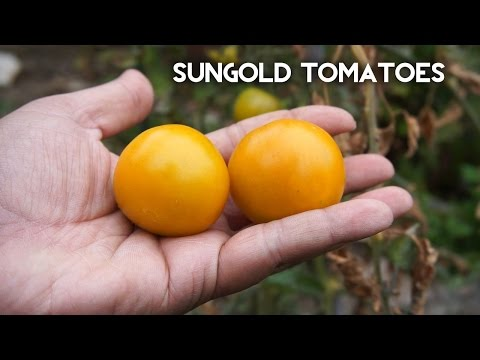 How to grow SunGold tomato - Delcious tomatoes!