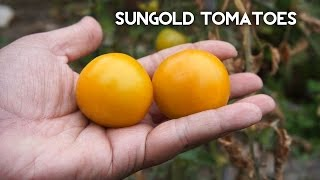 In today's episode we look at growing SunGold tomatoes. These Sun Gold Tomatoes are one of the most delicious tomatoes to grow. These golden orange ...