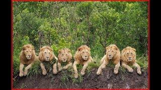 Lion Documentary HD 2018 BBC Best Documentary David Attenborough's - Animals of Africa
