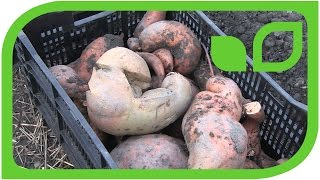 Das Ernten von Süsskartoffeln