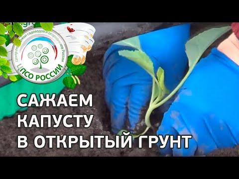 Как посадить капусту в грунт под временное укрытие
