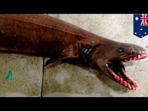 Australijski rybak złowił prehistorycznego rekina видео
