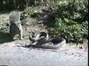 squirrel-vs-snake | Lixup