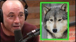 Video Joe Rogan - Wolves Don't Mess Around! MP3, 3GP, MP4, WEBM, AVI, FLV Januari 2019