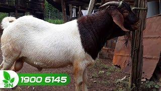 Chăn nuôi dê | Phòng trị bệnh viêm ruột hoại tử cho dê