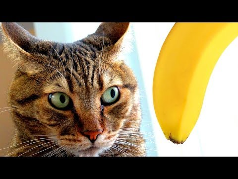 Funny animals - Funny Things To Pet a Cat With  WARNING: You Might Die If You Try!