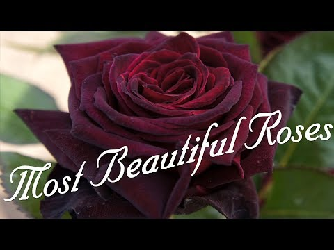 Most Beautiful Roses In The World