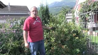 #745 Aronia melanocarpa - Apfelbeere vor der Ernte