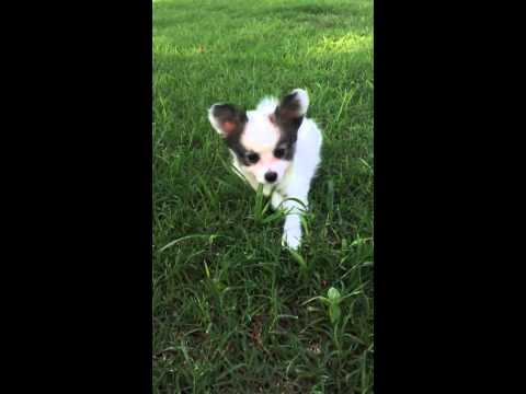 AKC Papillon white and sable female