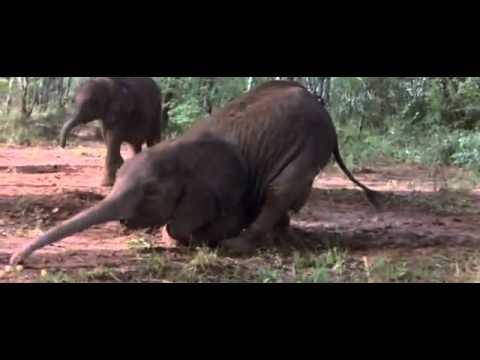 Động vật hoang dã châu Phi say rượu.mp4