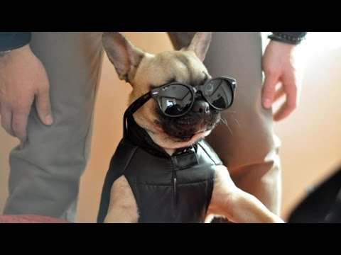 top cutest puppy french bulldog!