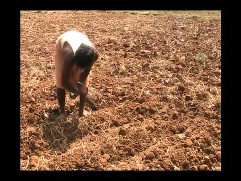 Sowing method of Lady's finger Oriya Pragati Odisha