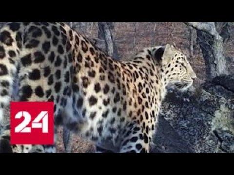 Популяцию краснокнижного леопарда в Приморье удалось спасти - Россия 24 - DomaVideo.Ru
