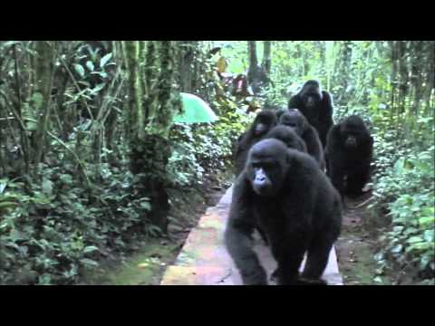 wild - An amazing chance encounter with a troop of wild mountain gorillas near Bwindi National Park, Uganda.