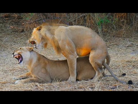 Video Lions Mating Like Crazy! (Close Up Footage) download in MP3, 3GP, MP4, WEBM, AVI, FLV January 2017