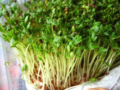Фотография ростков рассады салата